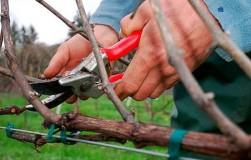 Некоторые особенности обрезки винограда