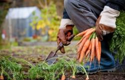 Перед посадкой хороню семена моркови поглубже в землю