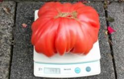Откармливаю свои помидорчики как поросят