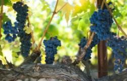 Мой нестандартный способ выращивания винограда