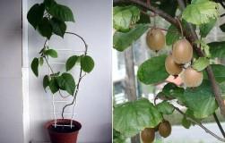 Вырастить киви дома сможет даже ребенок