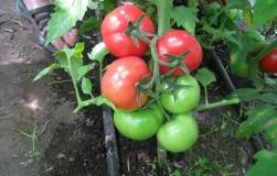 На сухарях мои помидоры растут как сумасшедшие