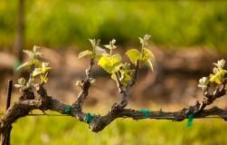 Что нужно сделать на винограднике в марте