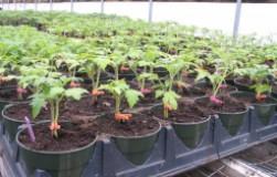 Что делать, если рассада помидоров бурно растет, но не цветет?