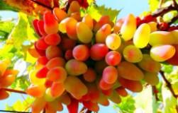 О винограде дамские пальчики