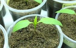 Два листочка у растения – сигнал начать работу