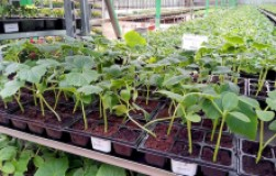 Особенности выращивания рассады огурцов