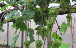 Как вырастить ранний урожай винограда в теплице
