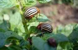 Можно ли избавиться от колорадского жука горчицей и уксусом?