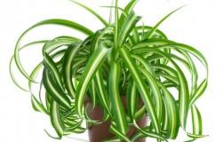 Знакомьтесь: хлорофитум − неубиваемое растение