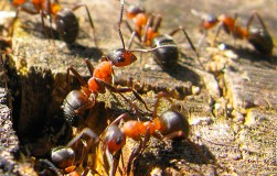 Чем убить муравья?