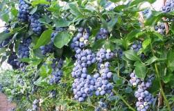 Голубика садовая: как посадить и как ухаживать
