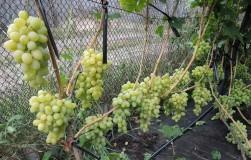 Как помочь винограду опылиться