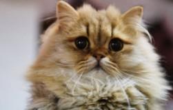 Что будет, если не стерилизовать кошку?