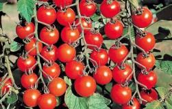 Стоит ли выращивать помидоры черри
