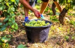 Когда нельзя поливать виноград