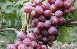 Атаман – один из самых крупных сортов винограда