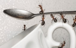 Сахар и сода против муравьев