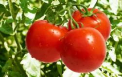 Семь простых секретов сладких помидоров