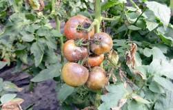 Боль садовода – фитофтороз