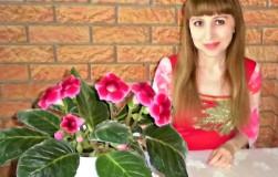 Секреты роскошного цветения глоксиний