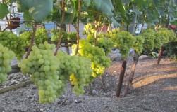 Топ-10 лучших сортов винограда