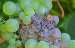 Опасность: серая гниль готова уничтожить урожай винограда