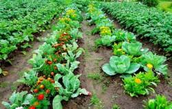 Овощная жизнь после дождей
