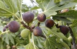 У кого будет расти чудо-дерево инжир