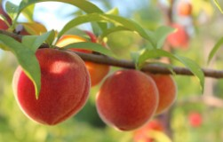 Почему осыпались завязи на персике