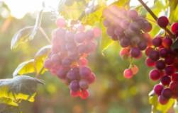 Восемь неукрывных сортов винограда