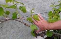 Как нормирование побегами, листьями и гроздями влияет на урожай