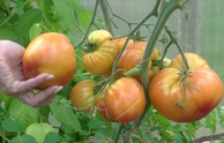 Загадка природы – самый красивый помидор