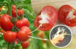 Почему в помидорах есть белые прожилки?
