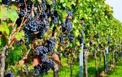 Укрываем виноград: способы для трудолюбивых и ленивых