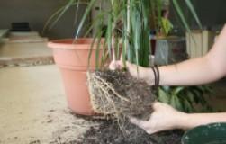 Как понять, что растение пора пересаживать?
