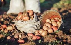 Три способа получить щедрый урожай картофеля
