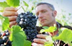 Самые поздние сорта винограда