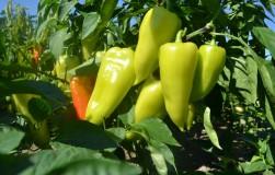 Перцы: они желтые, потому что зеленые
