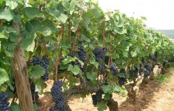 Два куста винограда рядом – один болеет