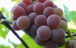 Что должен сделать виноградарь в феврале