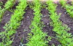 Почему в cредней полосе не желает расти укроп