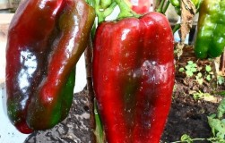 Сорта перцев весом в полкило