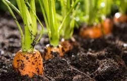 Два эффективных способа посева моркови