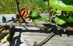 Как бороться с черным раком в саду