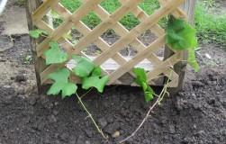 Виноград может расти везде
