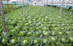 Дельные советы по выращиванию капусты