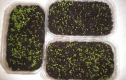 Проращивание семян с помощью кипятка
