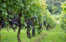 Зачем залужают травой виноградник