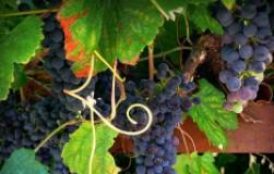Следим за виноградными усами